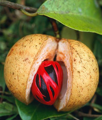 Photo from ARKive of the Nutmeg (Myristica fragrans) - http://www.arkive.org/nutmeg/myristica-fragrans/image-G34275.html